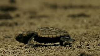 March of Olive Ridley Turtle hatching - Anjarle