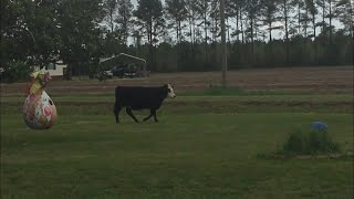 Cow in my yard